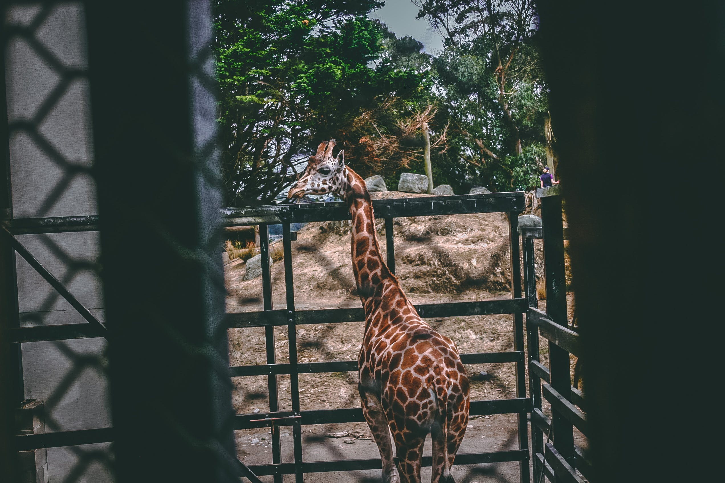 Giraffe on Black Metal Cage