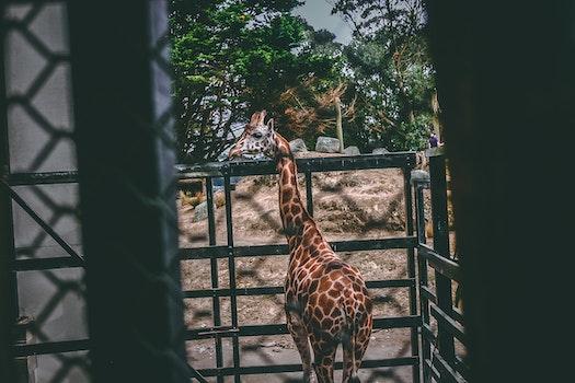 Free stock photo of animal, zoo, home, giraffe