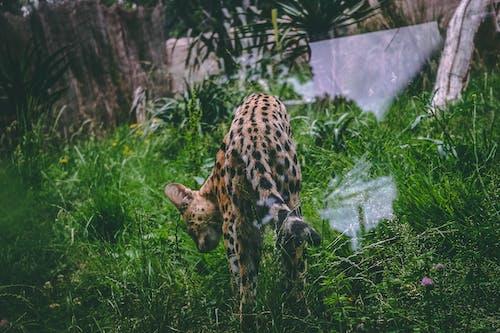 Foto stok gratis alam, binatang, bintik-bintik, hewan pemangsa