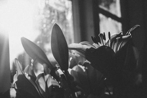 Ingyenes stockfotó bimbó, csendélet, fekete-fehér, fény témában