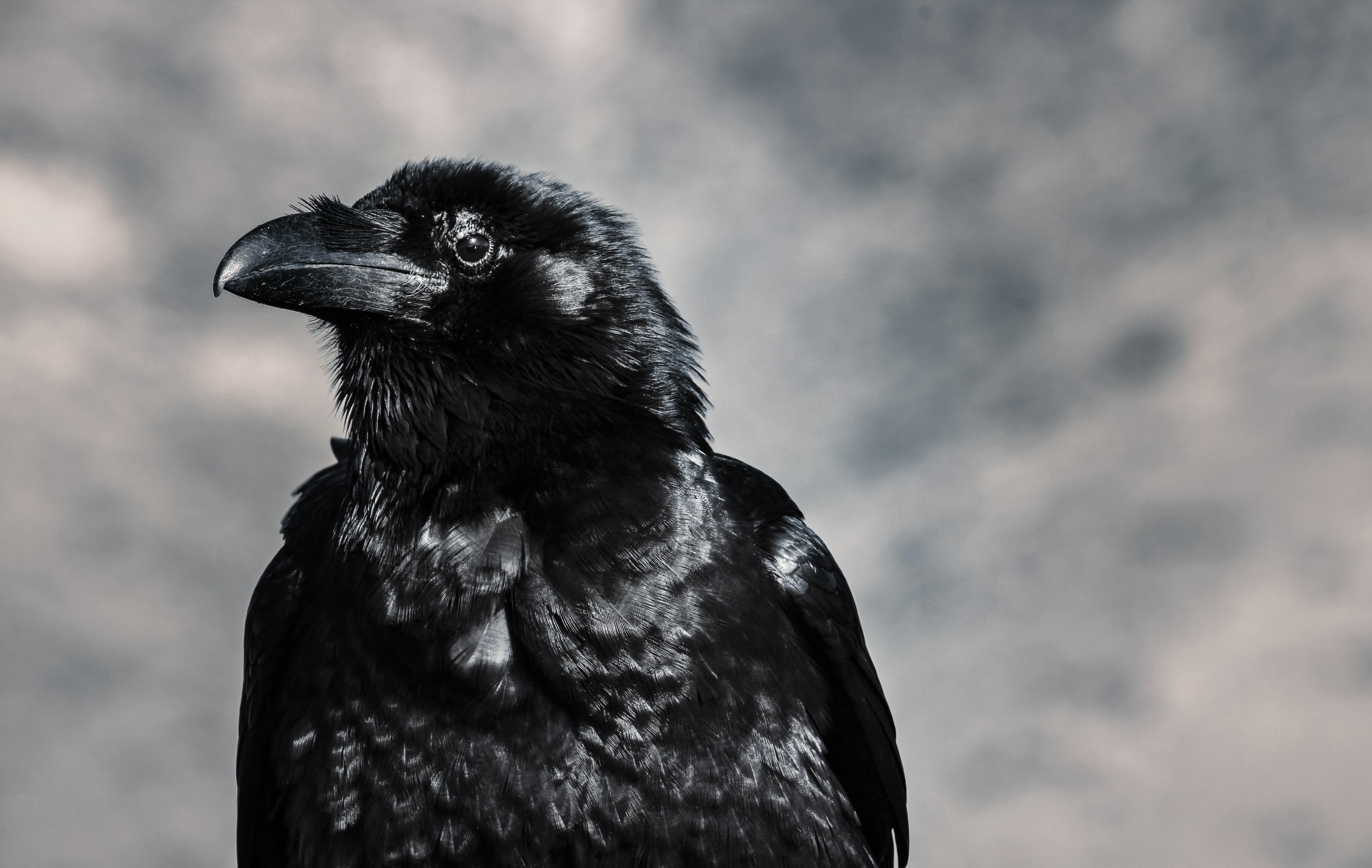 Interesting Raven Photos 183 Pexels 183 Free Stock Photos