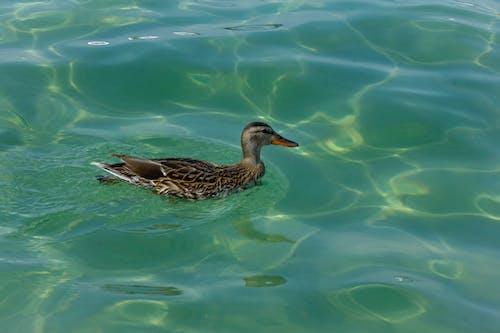 Ảnh lưu trữ miễn phí về bộ lông, bơi lội, chim