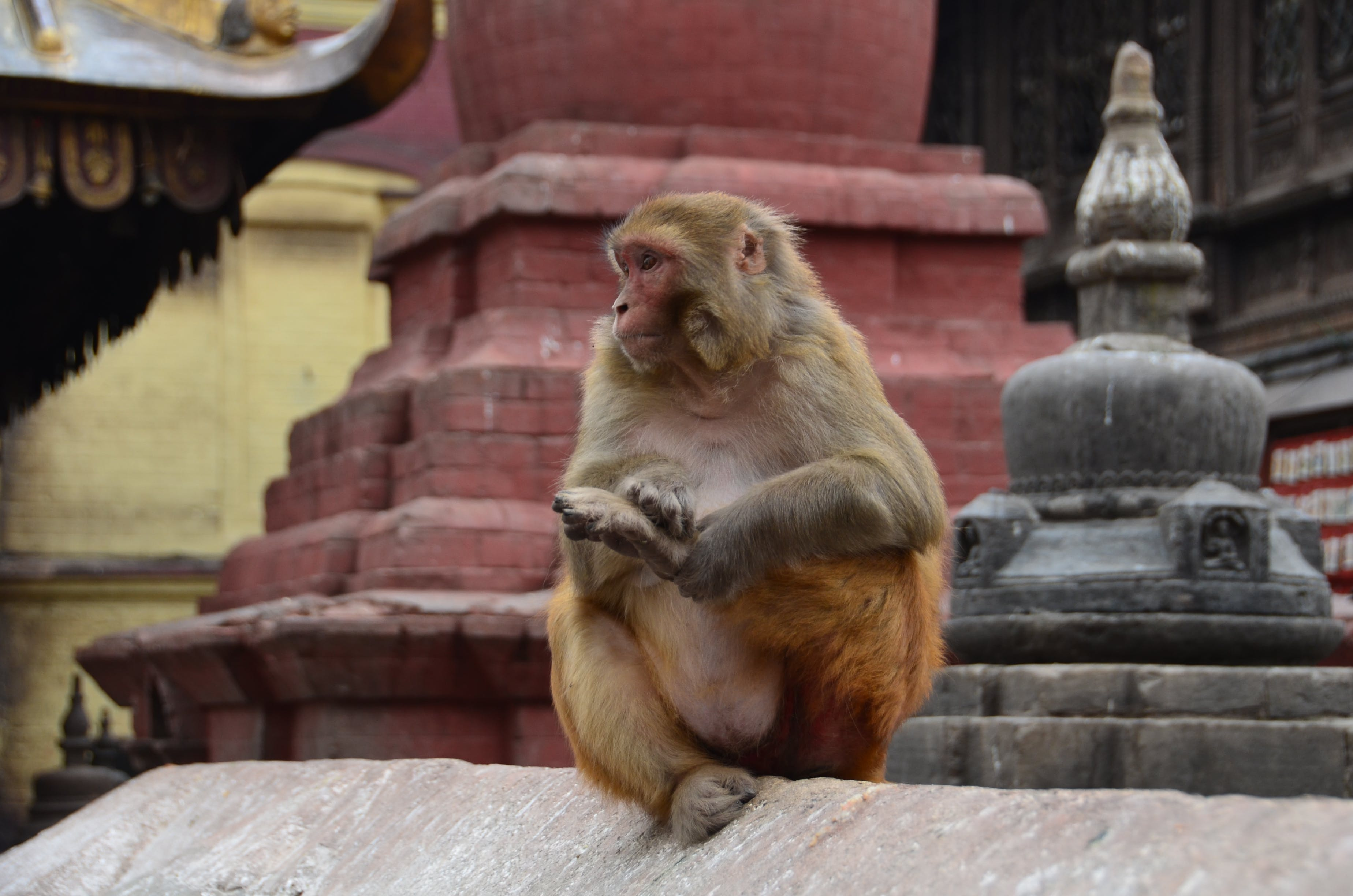 Brown Monkey Sitting on the Cement