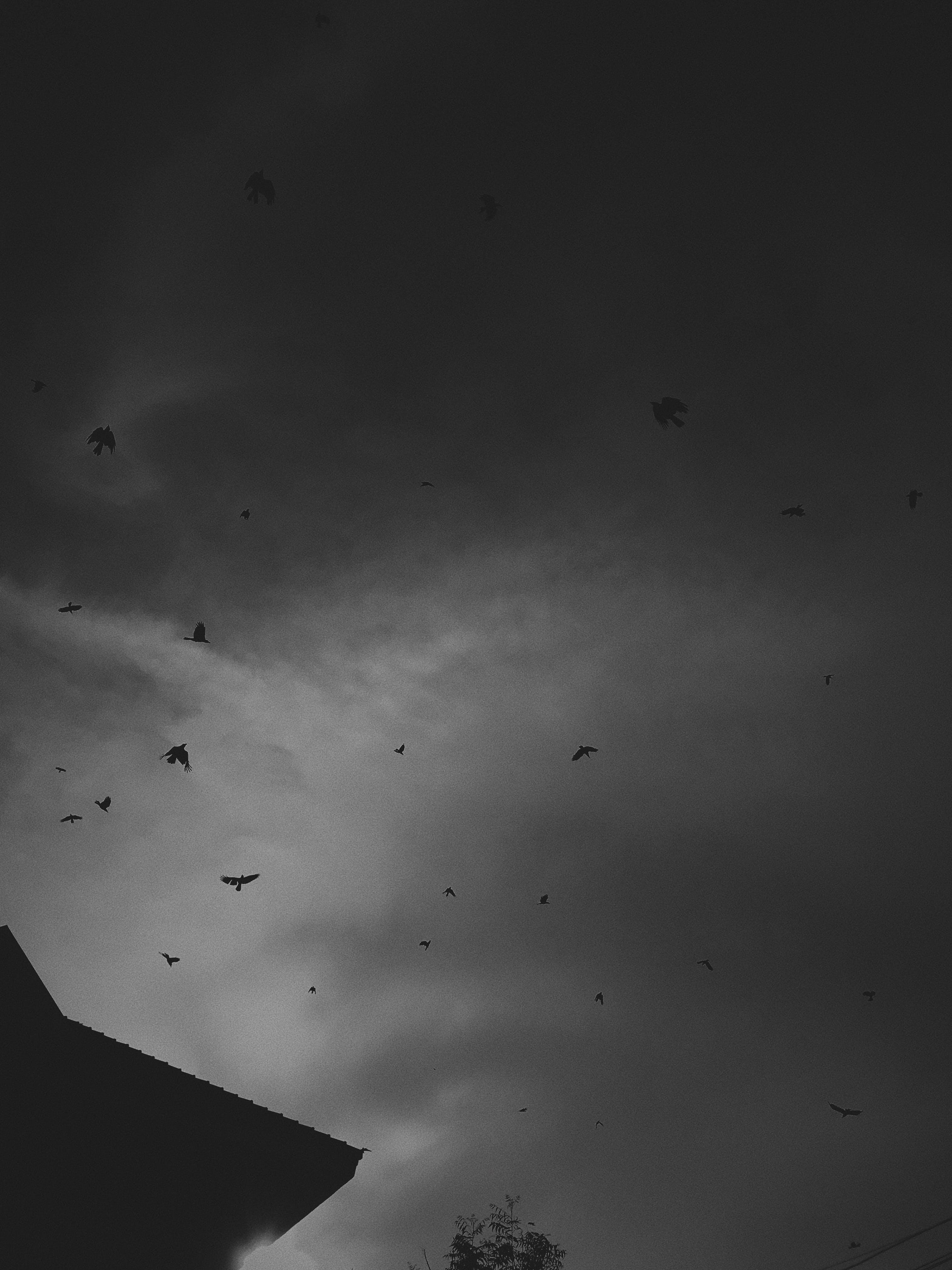 Free stock photo of birds, birds of paradise, black, black and white