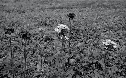 Free stock photo of black and white, bloom, flower