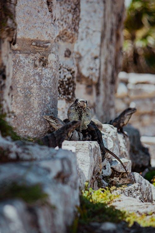 Ilmainen kuvapankkikuva tunnisteilla eläimet, gekos, iguanas