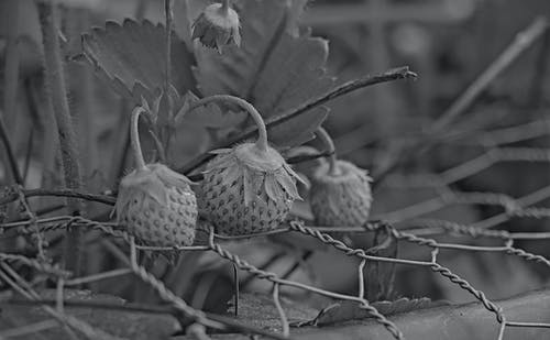 Free stock photo of black and white, plant, strawberries