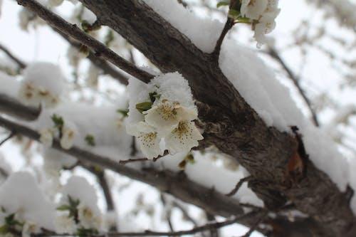 Ingyenes stockfotó fotó: habib hosseini, gyönyörű virágok, habib hosseini, hó témában