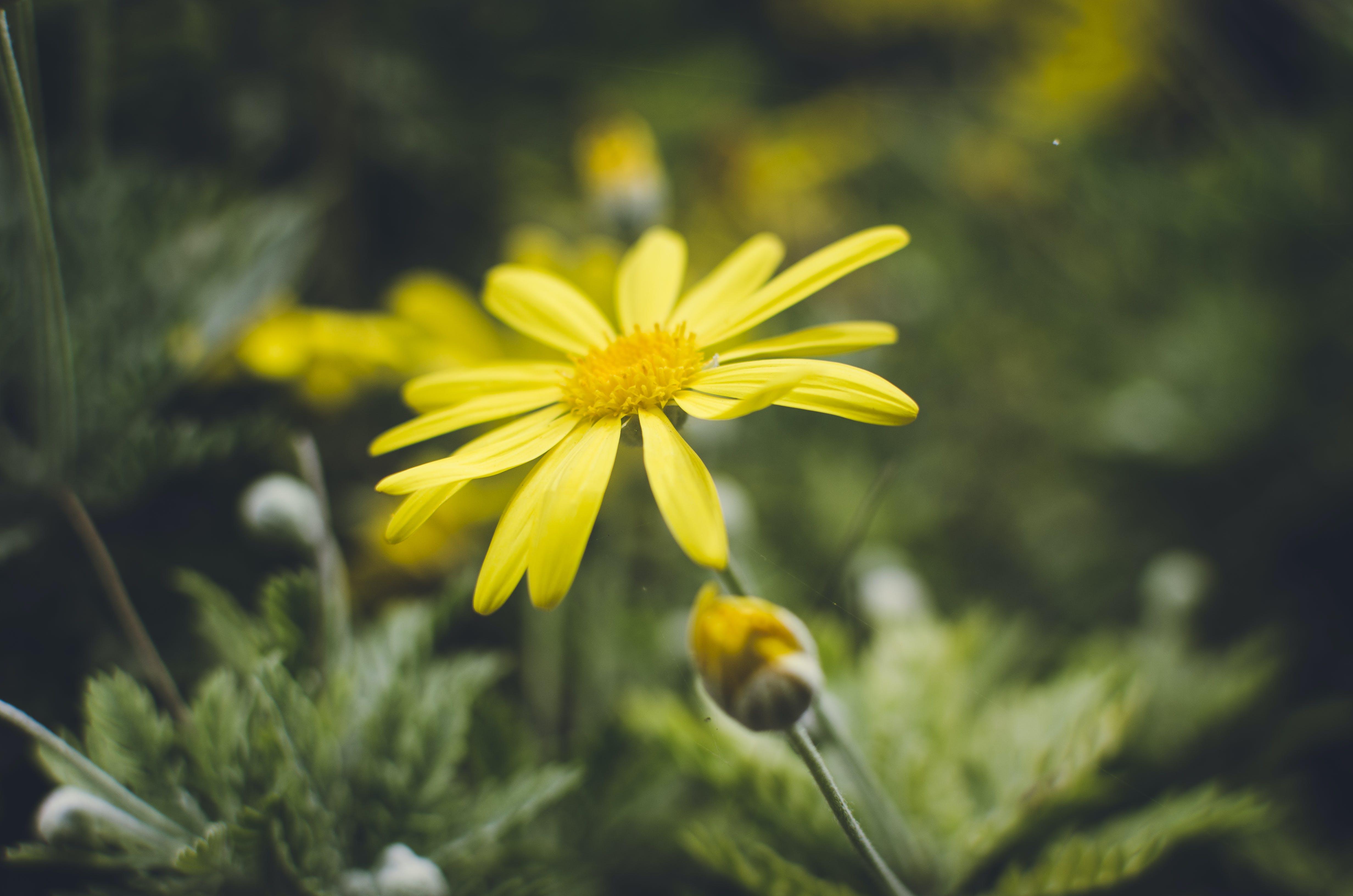 คลังภาพถ่ายฟรี ของ กลีบดอก, การเจริญเติบโต, กำลังบาน, ดอกตูม