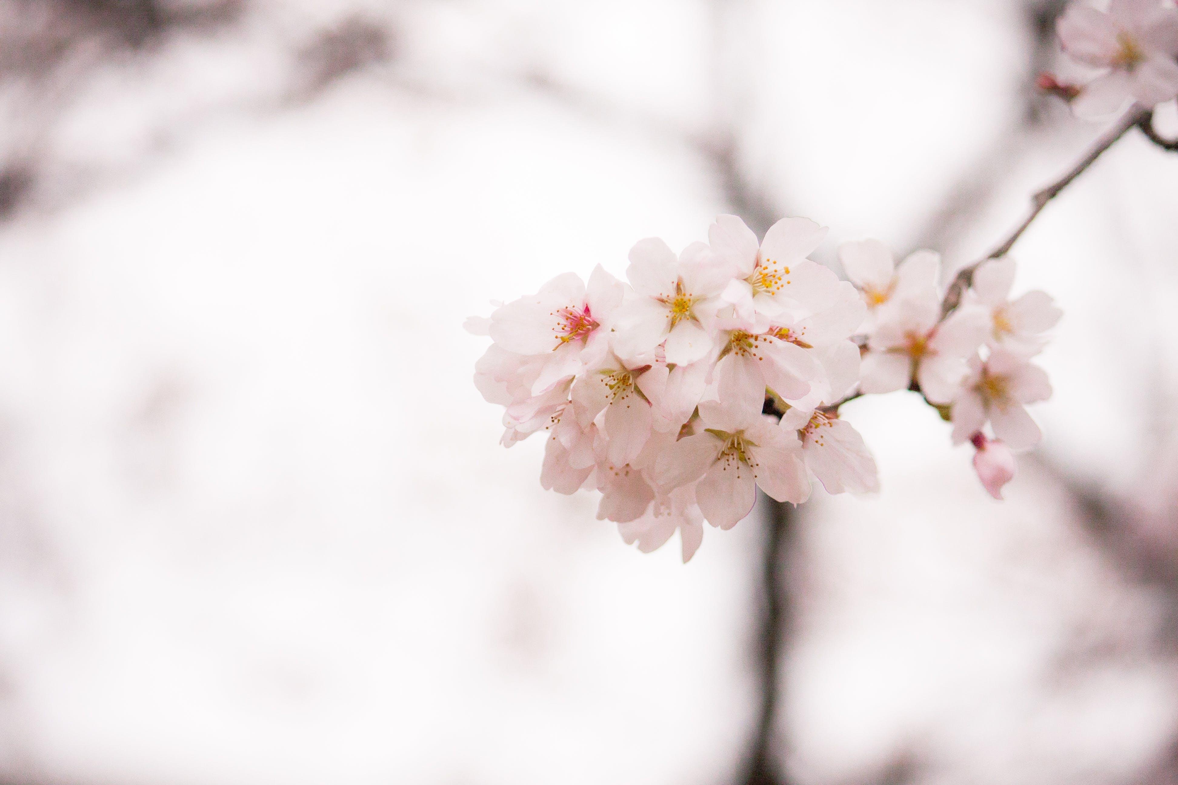 คลังภาพถ่ายฟรี ของ กลีบดอก, การเจริญเติบโต, กำลังบาน, กิ่งไม้