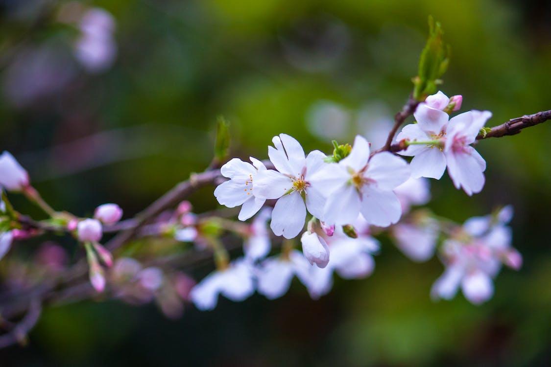 čerešňové kvety, detailný záber, farba