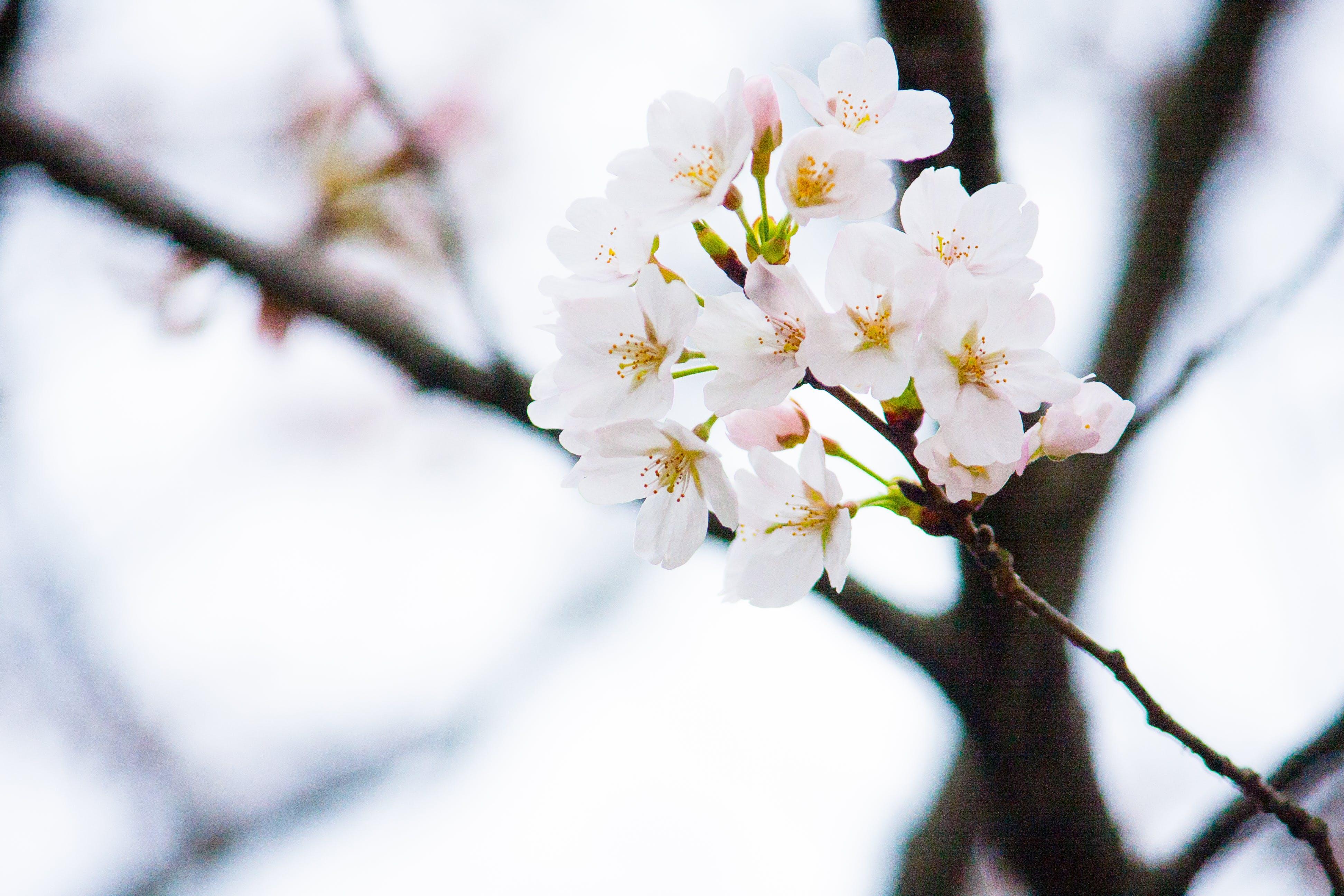 Kostnadsfri bild av blomknoppar, blomma, blommor, blomning