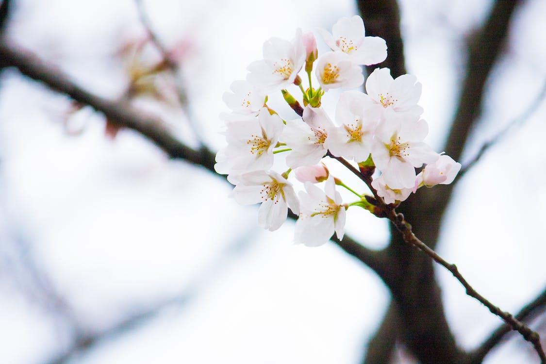 ág, cseresznyevirágok, évszak