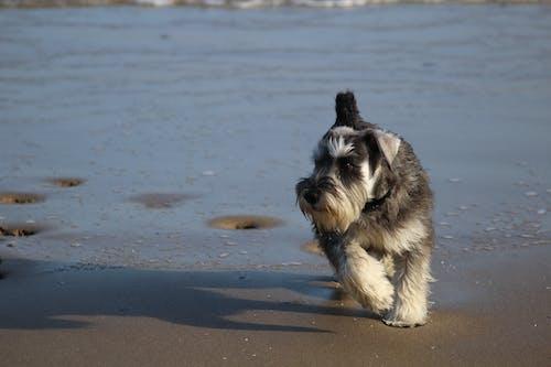 Foto d'estoc gratuïta de bailey, gos, gos a la platja, pembrokeshire
