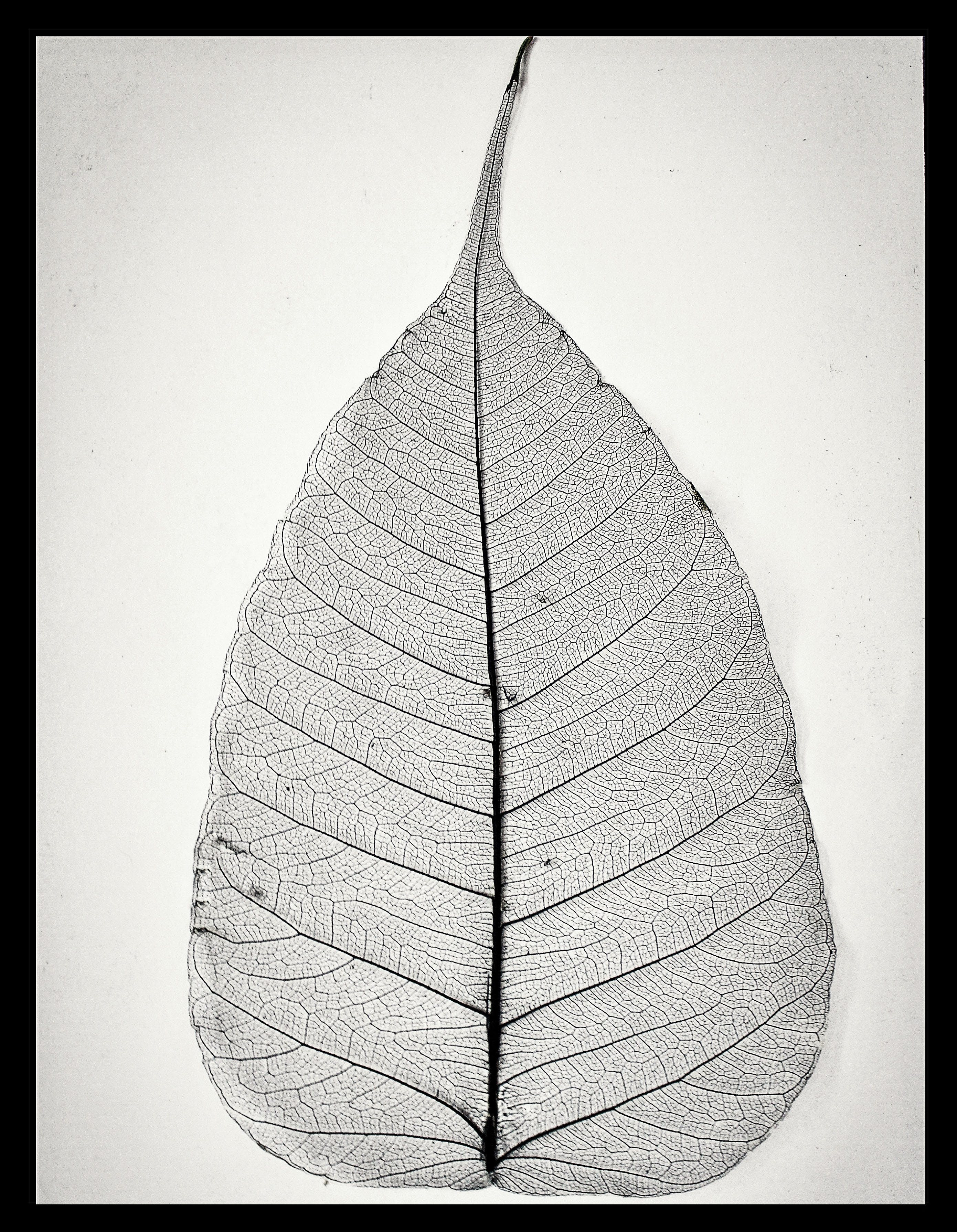Free stock photo of dry, leaf, leaf skeleton, leaves