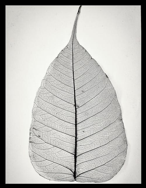Free stock photo of dry, leaf skeleton, retro, skeletalleaf