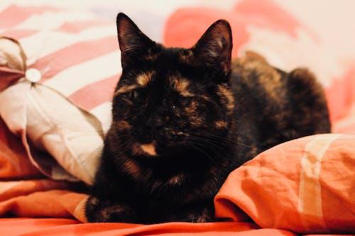 Foto d'estoc gratuïta de còmode, descansant, gat, llit
