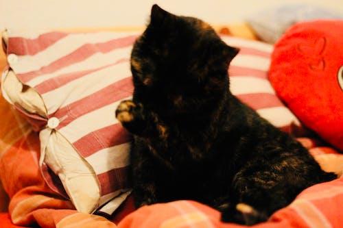 Foto d'estoc gratuïta de gat, llit, neteja
