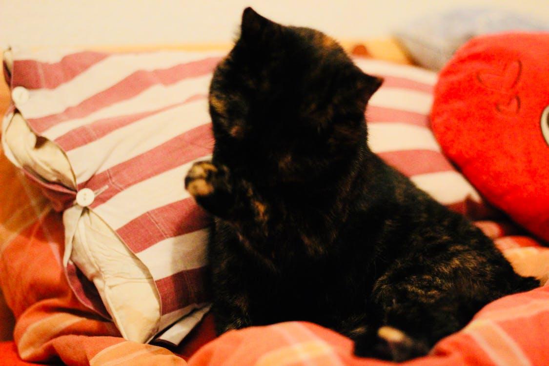 kat, rengøring, seng