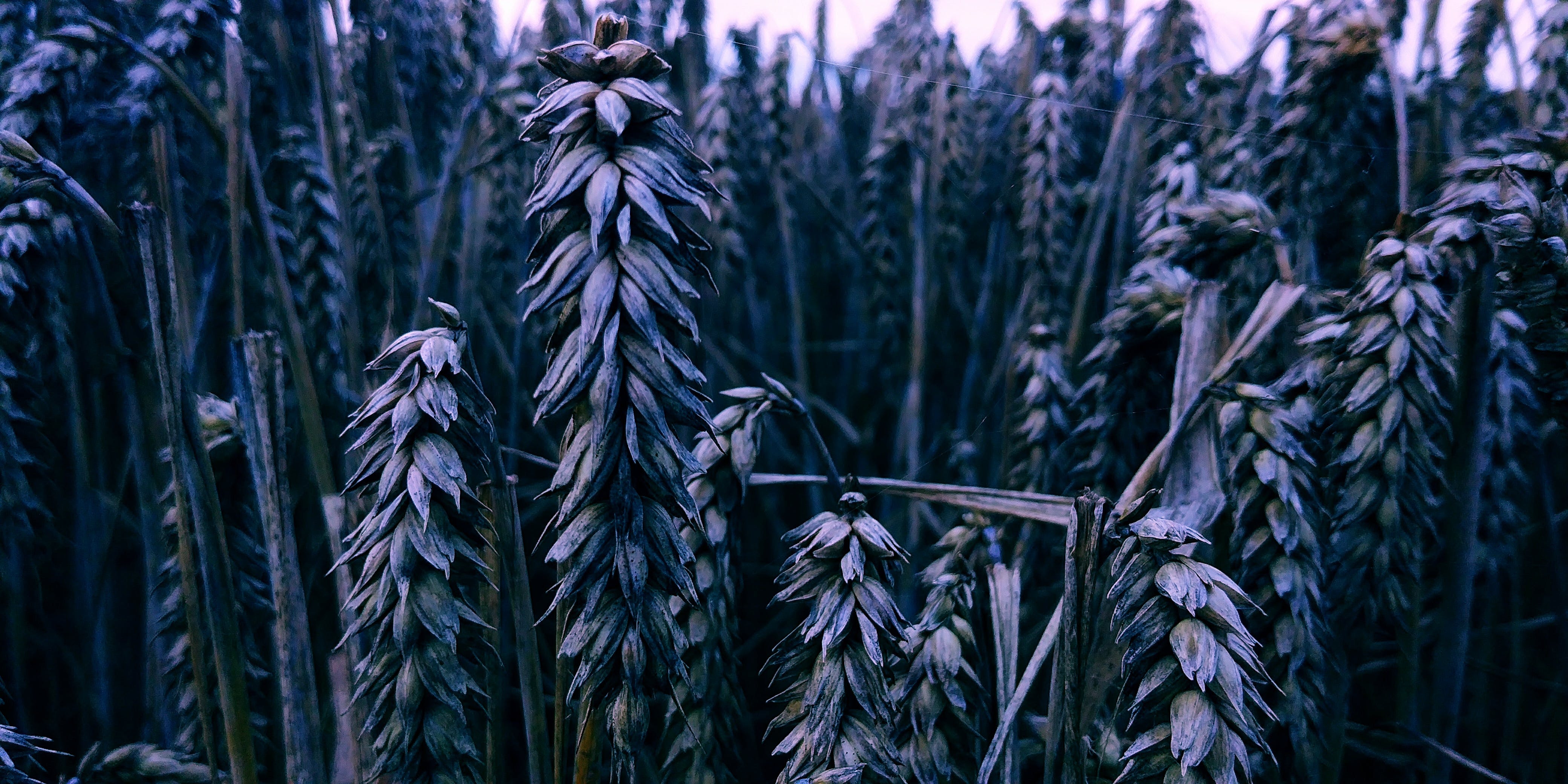 Selective Photography Of Wheat