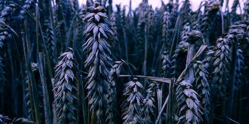 alan, buğday, Çiftlik, çim içeren Ücretsiz stok fotoğraf