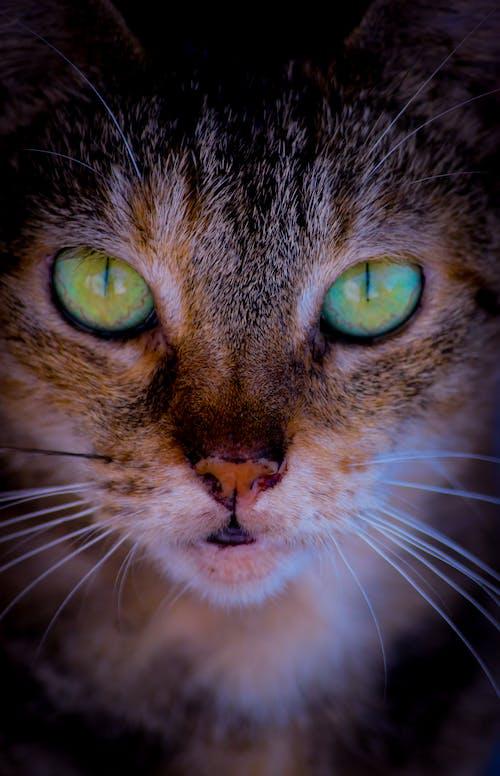 Δωρεάν στοκ φωτογραφιών με cat closeup, Γάτα, γάτες εραστές