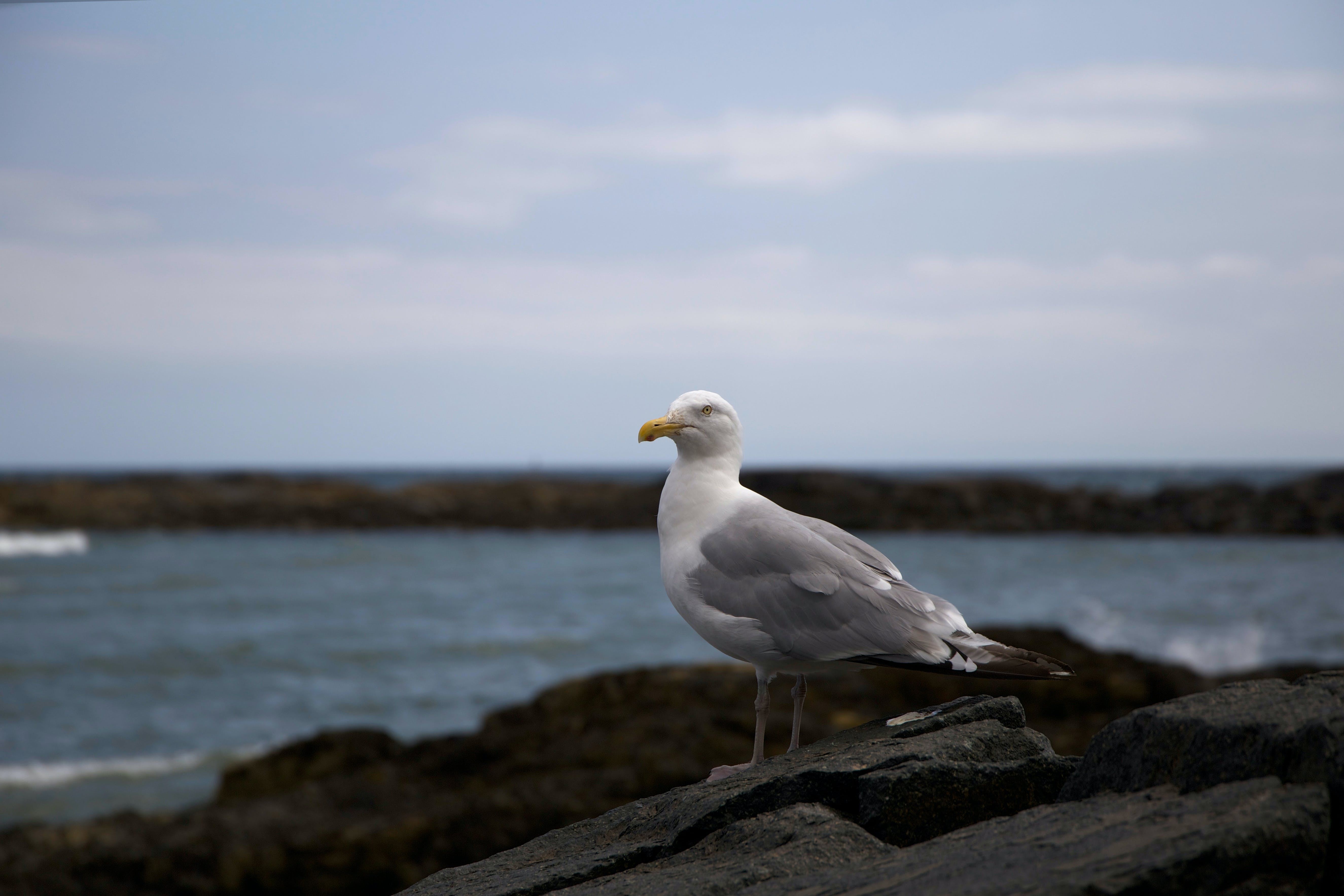 Selective Focus Photography of Ring-billed Gull Standing on Black Rock Formation