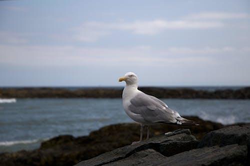Fotobanka sbezplatnými fotkami na tému breh, čajka, morské pobrežie, oceán