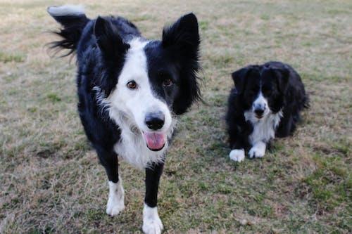 Kostnadsfri bild av border collie, hundar