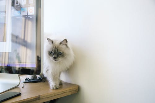 White and Gray Fur Cat