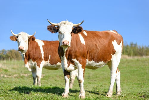 Free stock photo of animals, blue sky, breeding, cattle