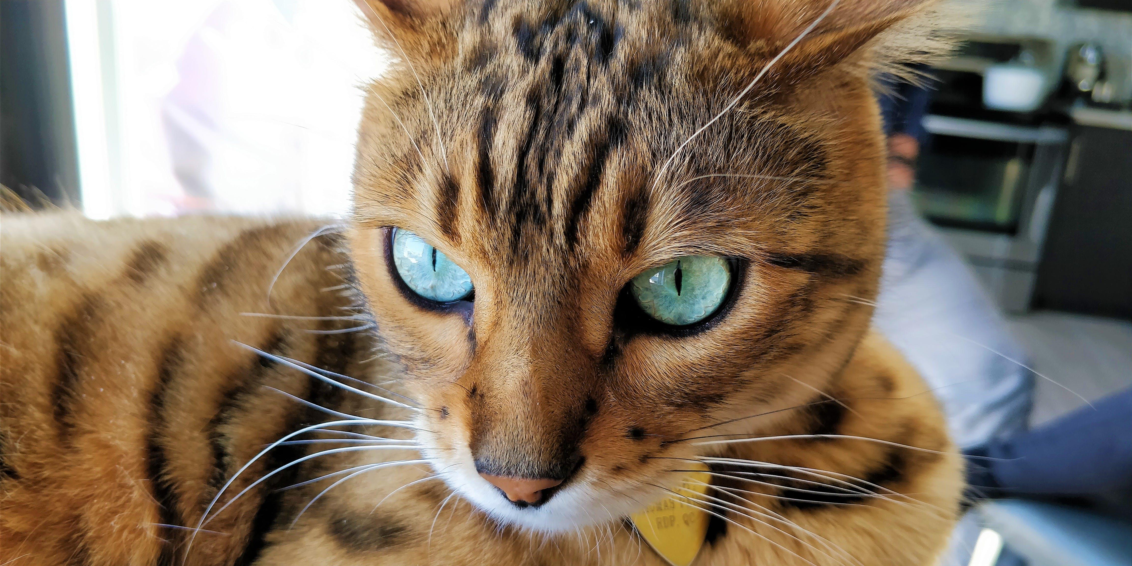 Δωρεάν στοκ φωτογραφιών με Γάτα, γκρο πλαν, δυτικό μπενγκάλι, θολό παρασκήνιο