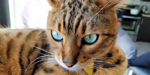 batı bengal, bulanık arka plan, kedi, yakından içeren Ücretsiz stok fotoğraf