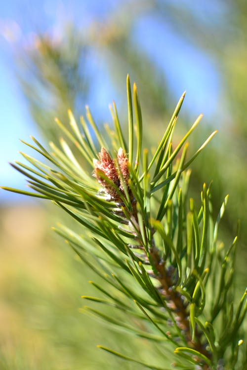 Green Pine Leaves