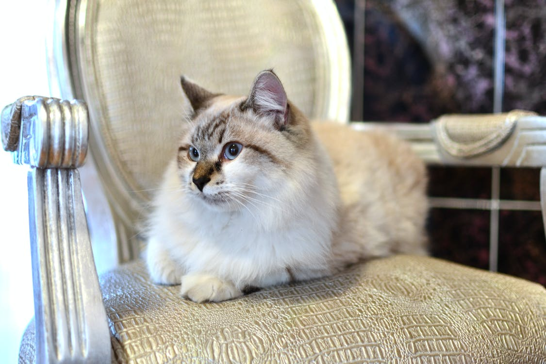 Gratis lagerfoto af dyr, grå og hvid kat, hjemlig