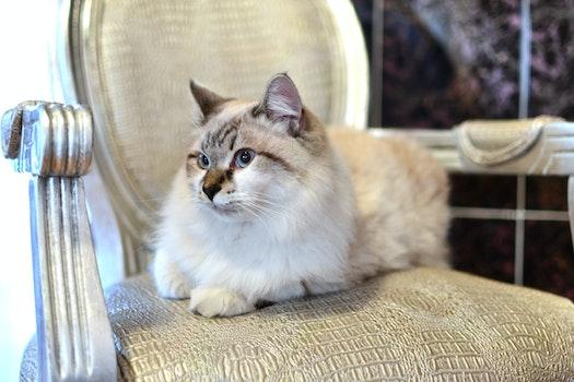White Tan Cat