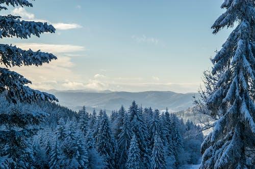 Ilmainen kuvapankkikuva tunnisteilla lumi, luonto, männyt, talvi