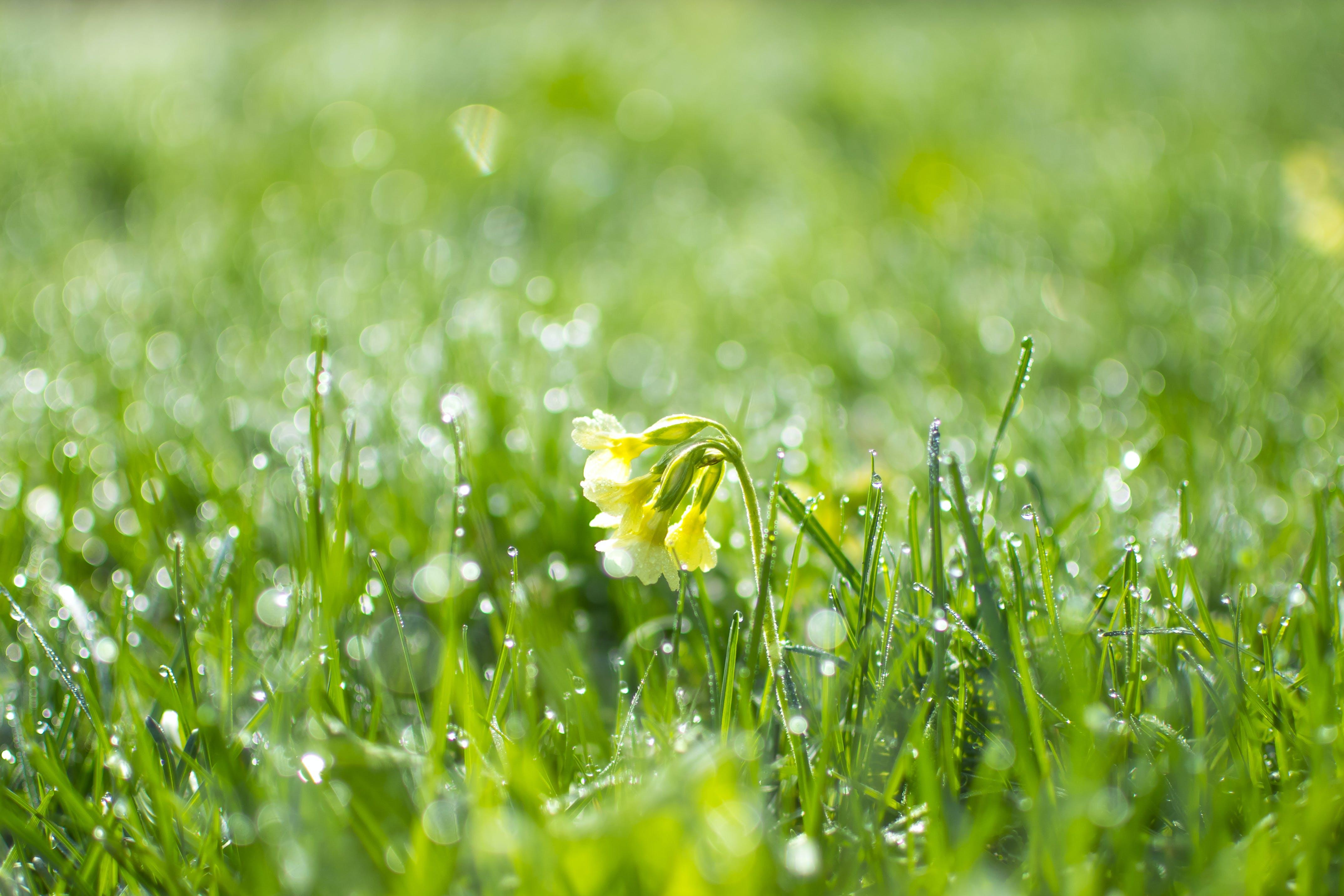 คลังภาพถ่ายฟรี ของ ธรรมชาติ, น้ำค้าง, พฤกษชาติ, สีเหลืองอ่อน