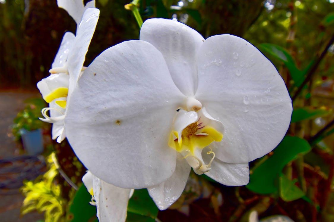 blanc, centrale, fleur