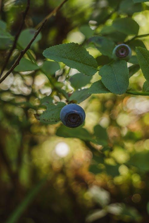Fotos de stock gratuitas de al aire libre, arándano azul, arándanos azules