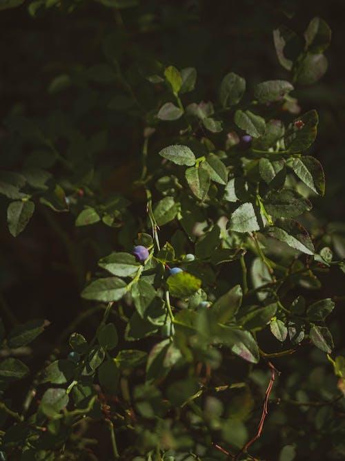 Fotos de stock gratuitas de arándanos azules, arbusto, botánico