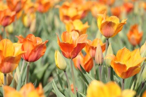 คลังภาพถ่ายฟรี ของ การเจริญเติบโต, กำลังบาน, ดอกทิวลิป, ดอกไม้