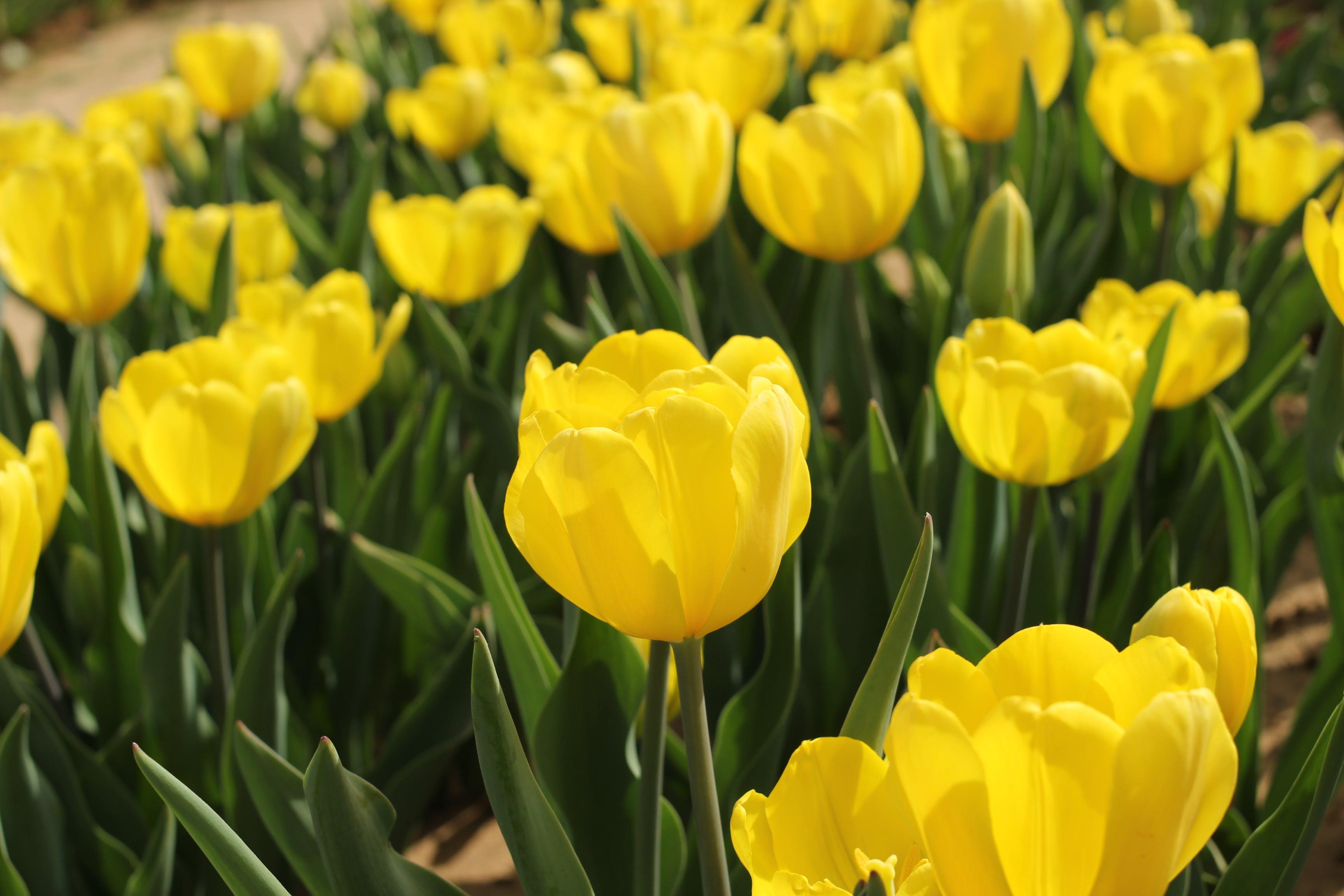 Gratis stockfoto met bloemen in de lente, gele bloem, gele bloemen, gele tulp