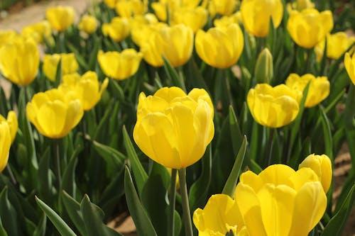 Free stock photo of spring flowers, tulip, tulips, yellow flower