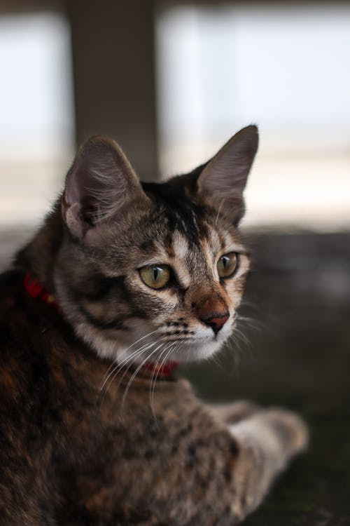 Selective Focus Photo of a Brown Tabby Cat Wearing a Red Collar