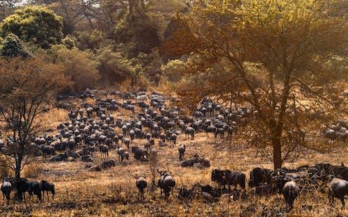 Foto stok gratis di luar rumah, domba, Fajar