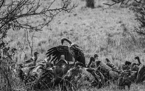 Foto stok gratis bebek, burung, burung bangkai