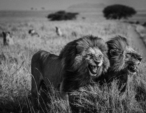 Foto stok gratis binatang, bulu, fauna