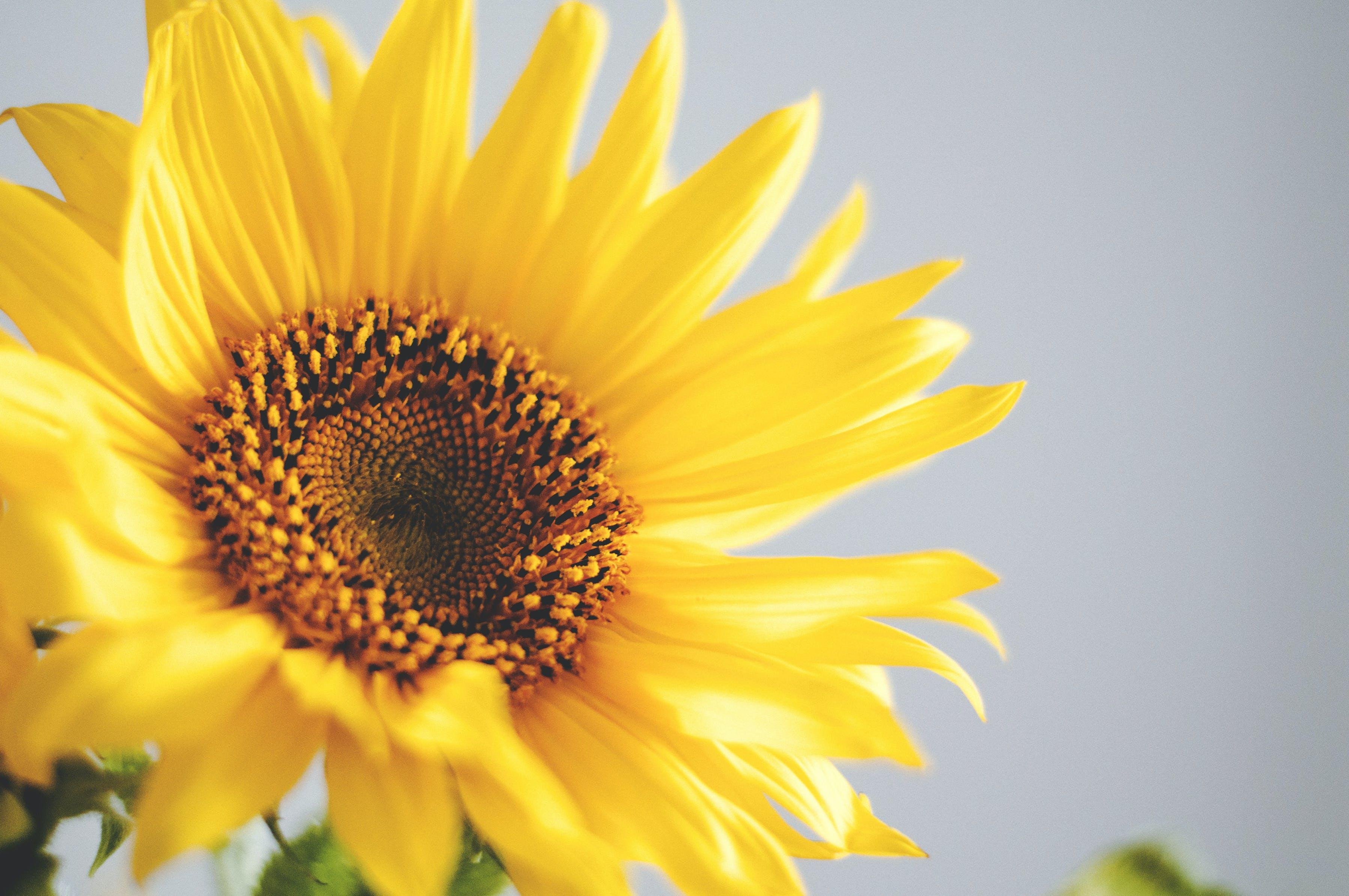 Shallow Focus Photo of Sunflower