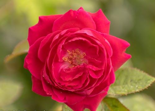 Free stock photo of bloom, blossom, botany